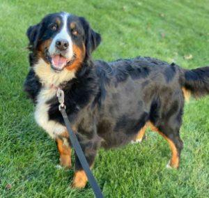 -GRACIE- AKC Bernese Mountain Dog 80Lbs